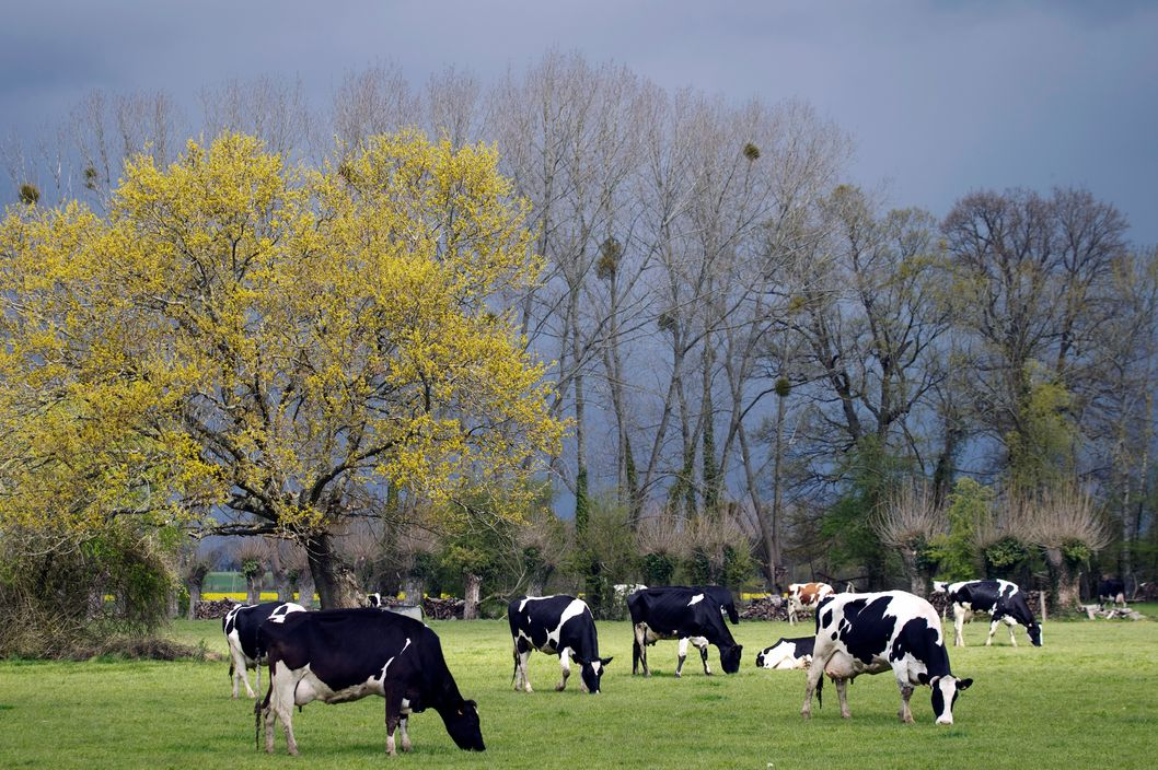 Cows are grazing in a field in April  19, 2012 in Lieurey, Normandy, west of Paris.