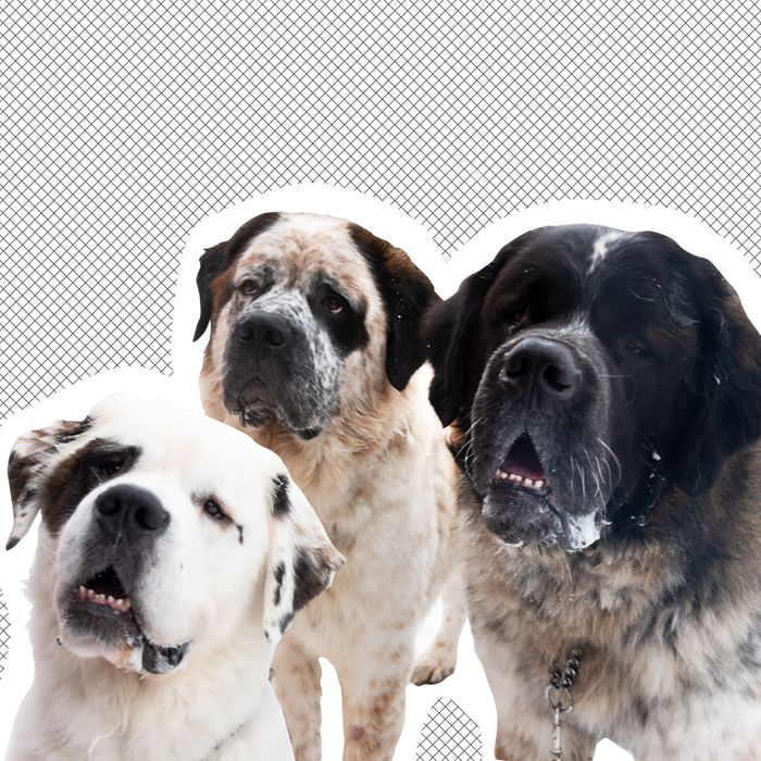 Gasket, Gunther, and Goliath, three Saint Bernard dogs.