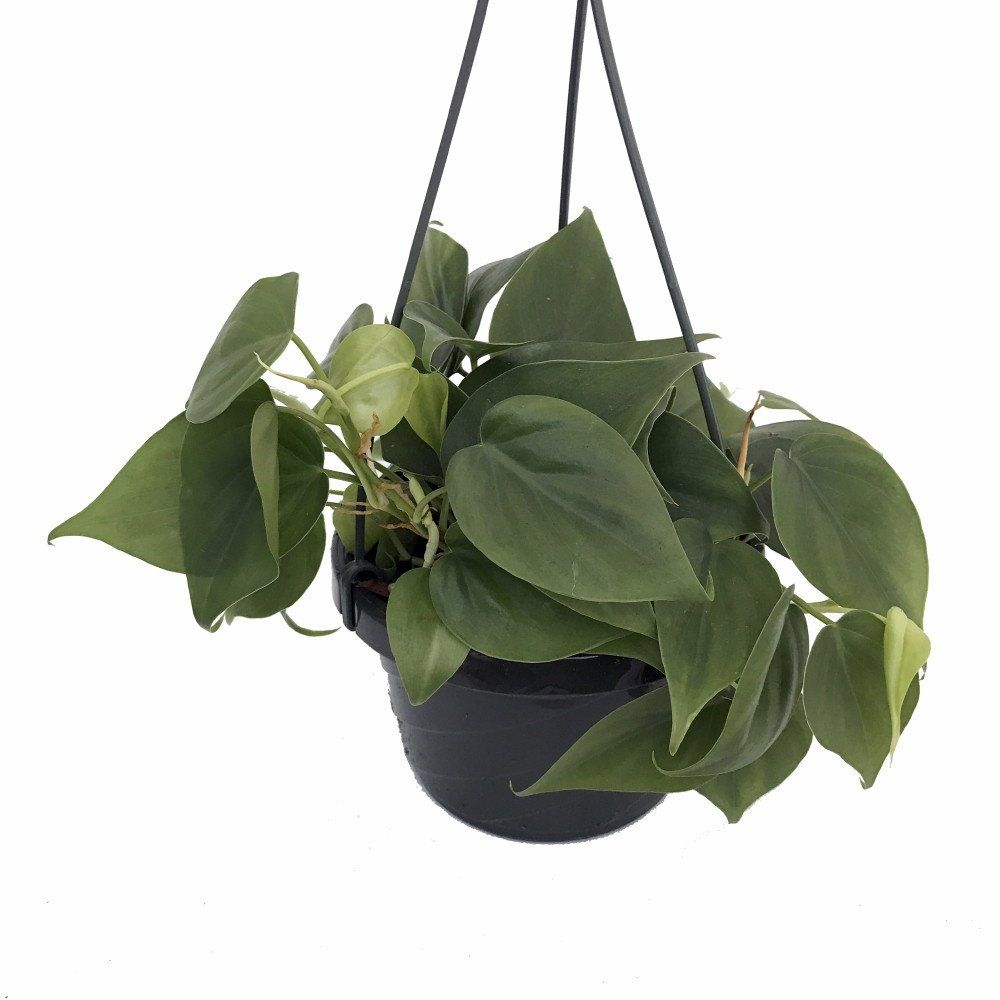 Heart Leaf Philodendron in 6-Inch Hanging Basket