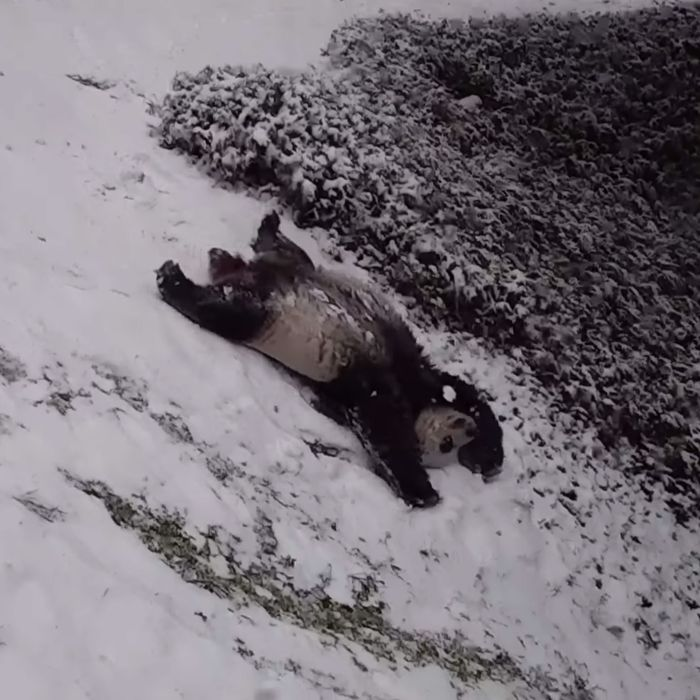 The National Zoo's giant pandas enjoying the region's first major snowfall of the year.