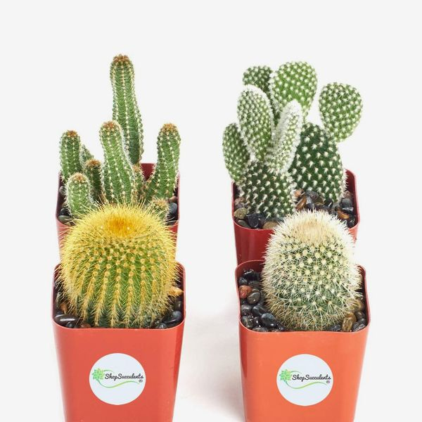 Shop Succulents Collection of 4 Assorted Cacti