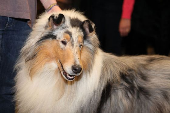 "Won Best of Breed 2012 and was the No. 1 Rough Collie for 2011. ""Vinny is short for 'Vindicator,'"" say his owners, Laura and Renee Rizzo. ""A few minutes ago, a Bouvier stuck her butt in front of him and he went crazy. He's such a flirt."""