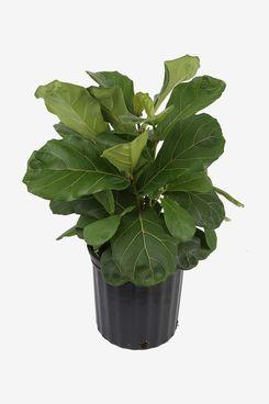 Costa Farms Ficus-Lyrata Fiddle-Leaf-Fig Tree