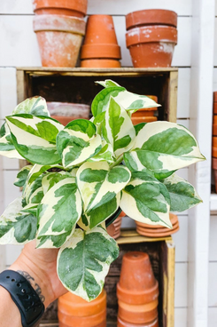 4 Inch Potted Pearls and Jade Variegated Pothos