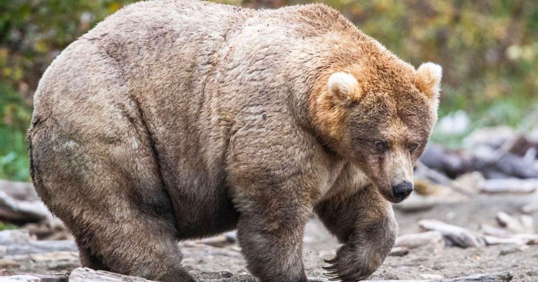 Praise Holly, America's Fattest Bear and Role Model to All