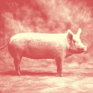 Domestic Pig in Studio