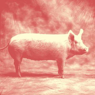 Domestic Pig in Studio