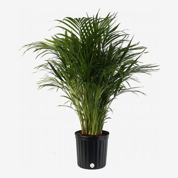 Costa Farms Areca Butterfly Palm Plant, 3 to 4 Feet Tall in Grow Pot