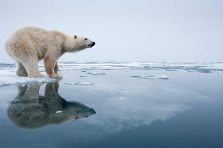 09 Aug 2009, Nordaustlandet, Norway --- Polar Bear (Ursus maritimus) reflected in pools on melting ice on Sabinebukta Bay at Irminger Point.