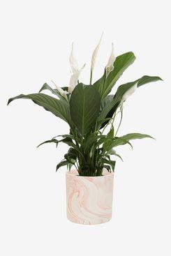 Costa Farms Peace Lily