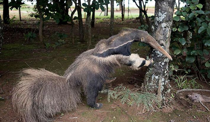 The stuffed anteater, in daylight.