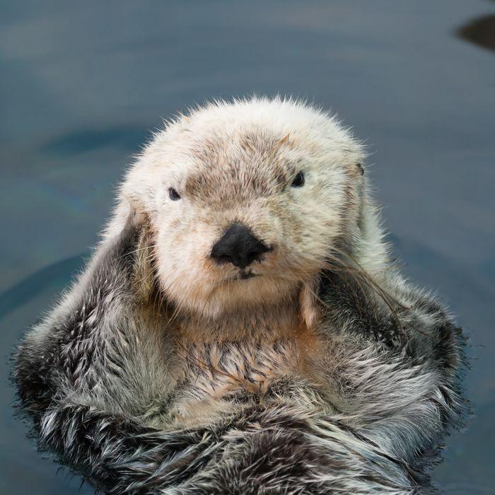 An otter scrubbing its face.