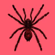 White-toe tarantula --- Image by ? PULSE/Corbis