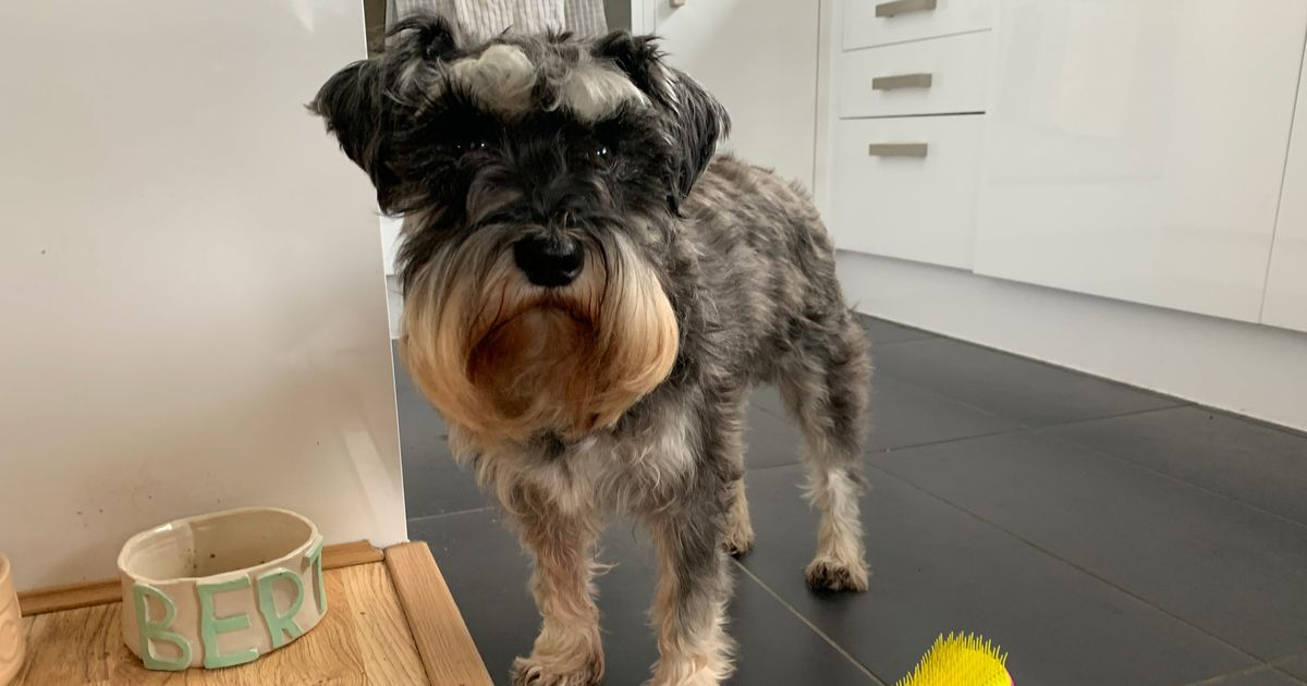 My Schnauzer Not Only Tolerates This Tangle Teezer for Dogs, He Enjoys It