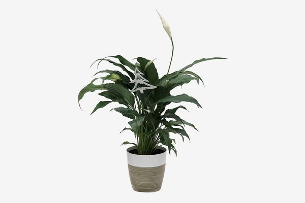 Costa Farms Peace Lily Spathiphyllum Indoor Plant in Décor Planter