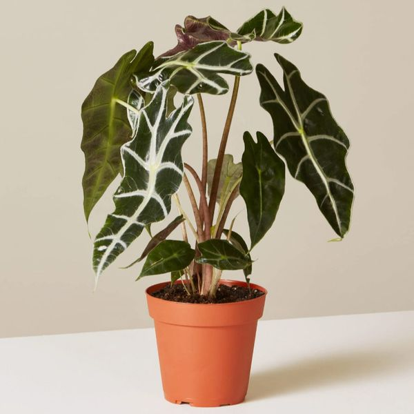 Alocasia 'Polly'