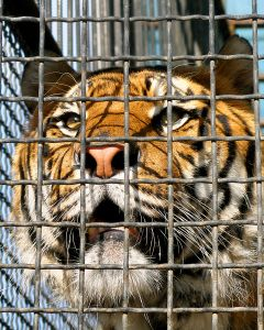 Face of tiger in cage, close-up