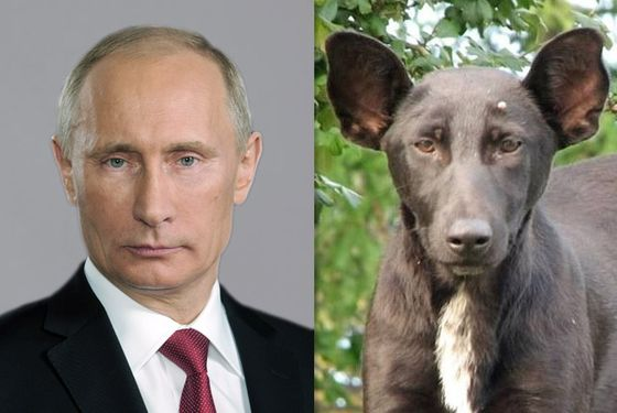 Three Theories on Why This Dog Looks Exactly Like Vladimir Putin
