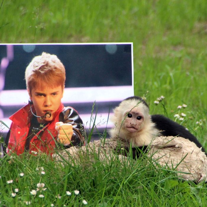 The ordeal of Mally, the 6-month-old pet monkey Justin Bieber abandoned in Germany, is finally coming to a happy end as he was today spending his first day at his new home - dubbed 'Mally-bu' - in a German zoo. Three months after the young capuchin monkey was left in Munich, after being confiscated by authorities when Bieber flew him into the country without papers, he is free to roam in his huge enclosure at the Serengeti Wildlife Park in Hodenhagen, in Northern Germany. He had spent 25 days in a mandatory quarantine after arriving at the zoo, chosen by German authorities, and now zookeeper Jenny Niew????hner - who has been with him everyday - has moved him to his final home, alongside his favorite cuddly toy. Having spent most of his life around humans, he will first be allowed time to get used to his surroundings before the members of his new family - seven white-headed capuchins - are very carefully introduced to live with him. The new monkey enclosure consists of an island with trees, a circular water pit and a house for the whole family. <P> Pictured: Mally <P><B>Ref: SPL568022 270613 </B><BR/> Picture by: Serengeti Park / Splash News<BR/> </P><P> <B>Splash News and Pictures</B><BR/> Los Angeles:	310-821-2666<BR/> New York:	212-619-2666<BR/> London:	870-934-2666<BR/> photodesk@splashnews.com<BR/> </P>