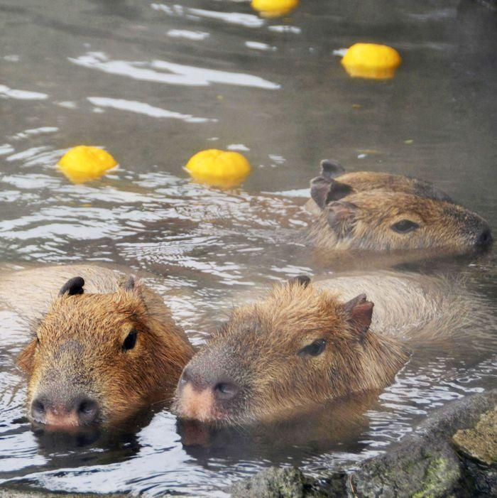 Capybara in yuzu onsen.