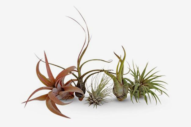 CTS Air Plants Assorted Tillandsia Air Plants (5-Pack)