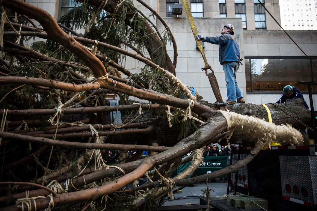 Workers prepare a 76-foot tall Norway Spruce, from Shelton, CT, to be hoisted into position as the 2013 Rockefeller Center Christmas Tree on November 8, 2013 in New York City.  The tree comes from the Vargoshe family, it was likely planted in the 1950s.