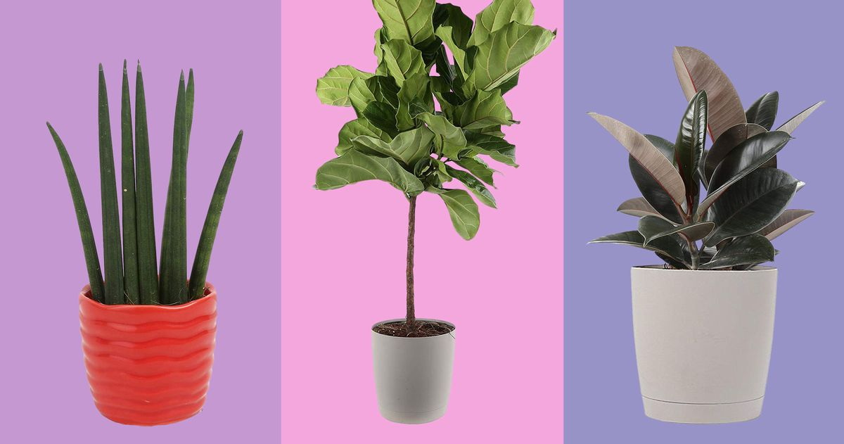 Fiddle-leaf Figs, Snake Plants, and Parlor Palms Are on Sale
