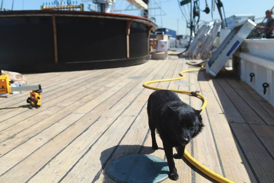 This is Maya, a Belgian Barge Dog who belongs to the Master Shipwright, Damek Birch.