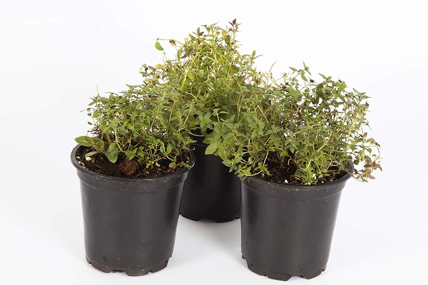 "The Three Company Live Plant Aromatic Herb 4"" Thyme"