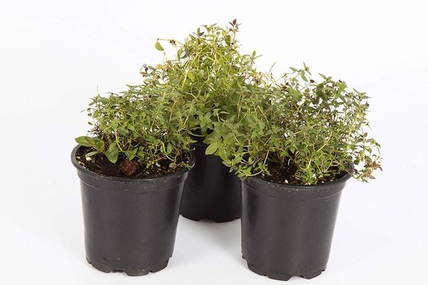 """The Three Company Live Plant Aromatic Herb 4"""" Thyme"""
