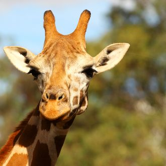 DUBBO, AUSTRALIA - APRIL 20: A giraffe is seen at Taronga Western Plains Zoo on April 20, 2012 in Dubbo, Australia. The popular 35 year old Dubbo zoo is set in 3 square km of bushland and is home to over 700 animals. (Photo by Mark Kolbe/Getty Images)