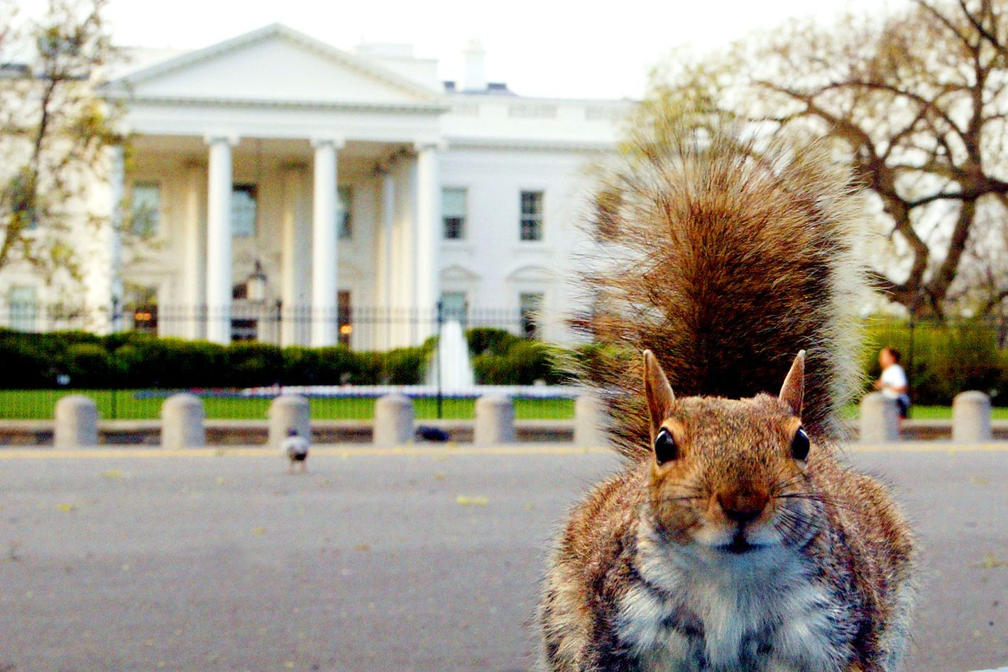 A hungry ground squirrel that looks pretty well fed hunts for food in Lafayette Park across from the White House early 10 April, 2002 as the sun starts to rise over the Washington, DC, area.