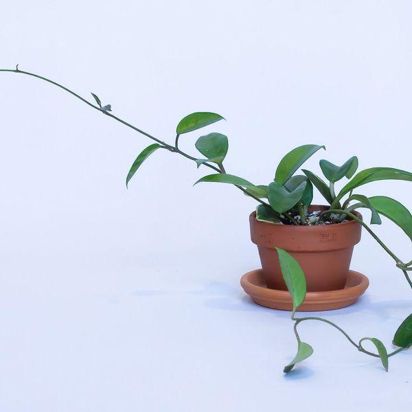 Hoya Carnosa Rope Plant