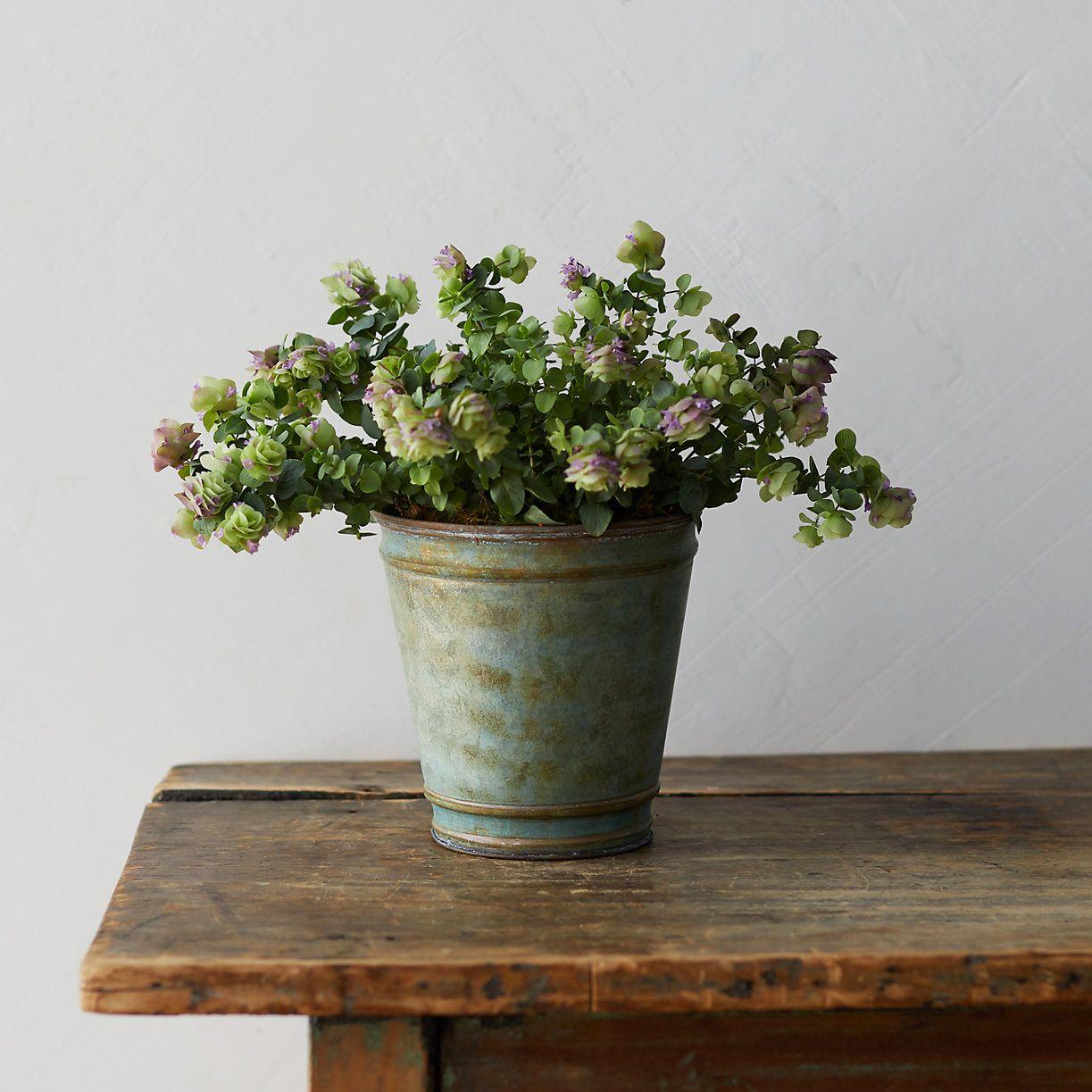 Ornamental Oregano, Metal Pot