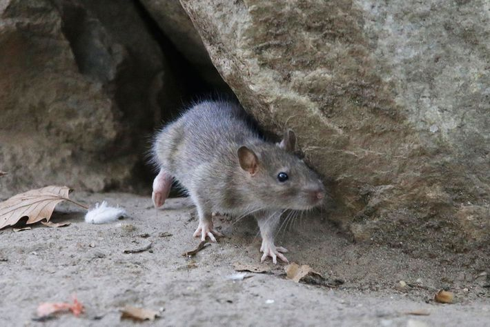 Rodents: carrying the plague for centuries.