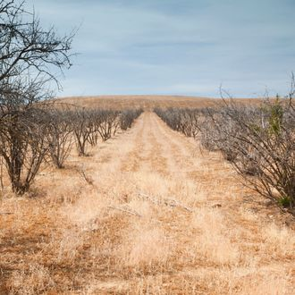 Dead pomegranate trees taken out of agricultural production due to California drought