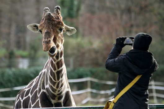 02 Jan 2012, Duisburg, Germany --- A giraffe makes a grimace at the zoo in Duisburg, Germany, 02 January 2012. Photo: ROLAND WEIHRAUCH --- Image by ? Roland Weihrauch/dpa/Corbis