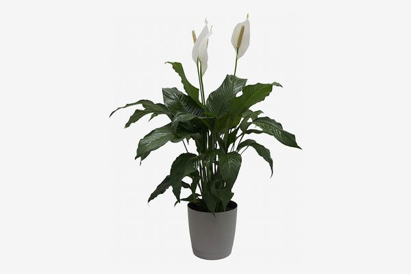 Costa Farms Peace Lily, 3 Feet Tall in Décor Planter