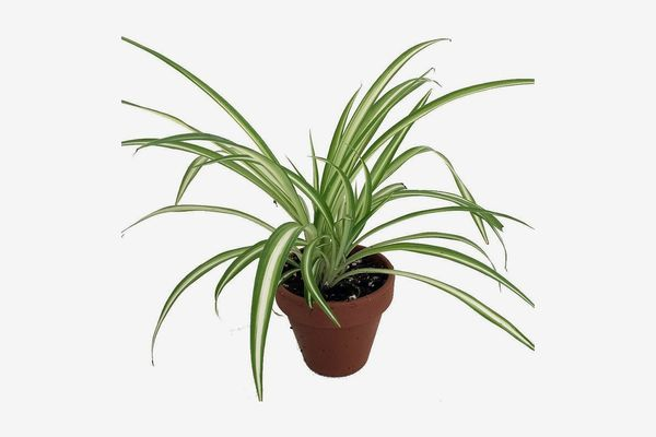 Ocean Spider Plant