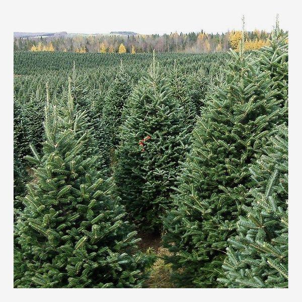 Standard 5'-10' Fraser Christmas Tree
