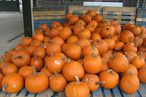 Police Have No Leads in Massive Pumpkin Caper