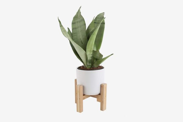 Costa Farms Snake Plant, Sansevieria