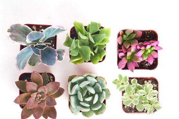 Shop Succulents Mini Succulents Collection of 6