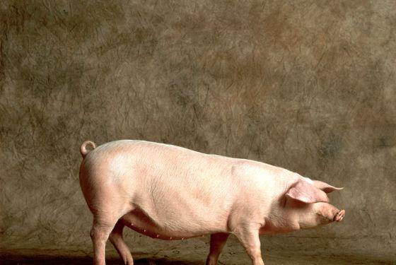 Run away, pig.