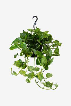 LiveTrends Design Pothos in Hanging Basket Grower Pot