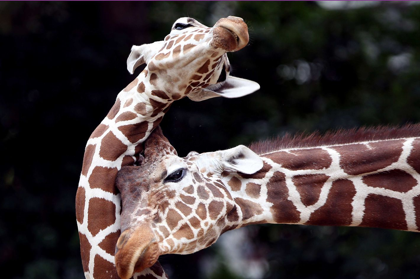 What does giraffe meat taste like biocorpaavc Images