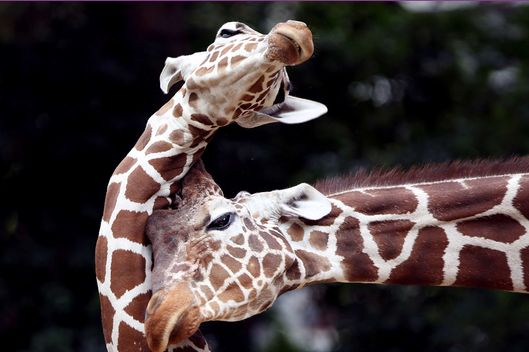 Two reticulated giraffe play at the zoo in Cologne, western Germany, on August 2, 2012. In the wild, giraffe live in sub-Sahararan Africa.      AFP PHOTO / OLIVER BERG    GERMANY OUT        (Photo credit should read OLIVER BERG/AFP/GettyImages)
