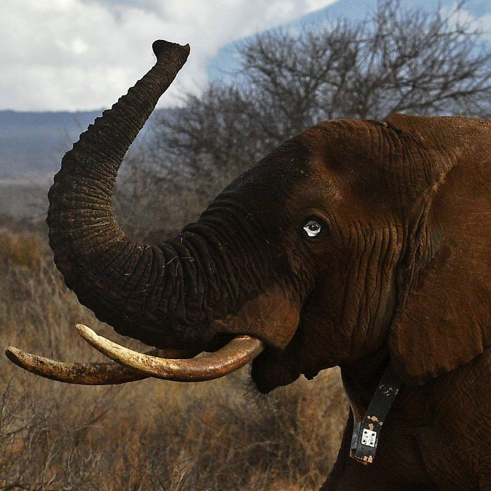 An elephant wears a fitted electronic collar at the Amboseli National Park in Kenya.