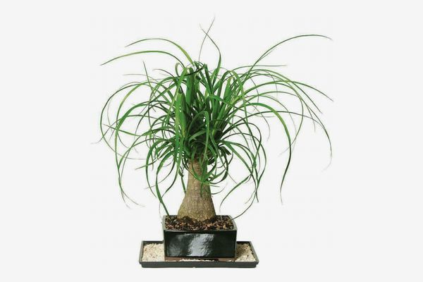 Brussel's Bonsai Ponytail Palm