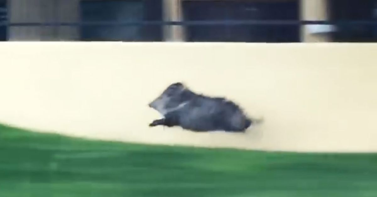 This Video of a Speedy Pig Will Bring You Serenity